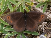 Water-Ringlet-butterfly-Erebia-pronoe-Spain-D0225