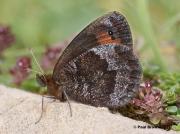 Water-Ringlet-butterfly-Erebia-pronoe-D1483