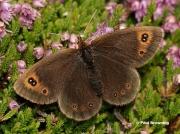 Water-Ringlet-butterfly-Erebia-pronoe-D2112