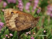 Water-Ringlet-butterfly-Erebia-pronoe-D2119
