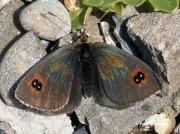 Western-Brassy-Ringlet-butterfly-Erebia-neleus-D1503