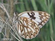 Western-Marbled-White-butterfly-Melanargia-occitanica-03402