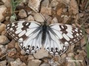 Western-Marbled-White-butterfly-Melanargia-occitanica-3340