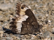Woodland-Grayling-butterfly-Hipparchia-fagi-3064
