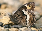 Woodland-Grayling-butterfly-Hipparchia-fagi-4764