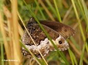 Woodland-Grayling-butterfly-Hipparchia-fagi-5102