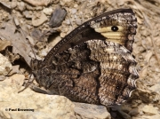 Woodland-Grayling-butterfly-Hipparchia-fagi-5498