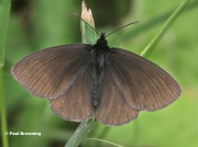 Yellow-spotted-Ringlet-butterfly-Erebia-manto-D3707