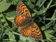 Aetherie-Fritillary-butterfly-Melitaea-aetherie-2742
