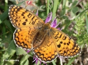 Aetherie-Fritillary-butterfly-Melitaea-aetherie-2743