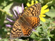 Aetherie-Fritillary-butterfly-Melitaea-aetherie-2744