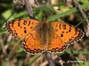 Aetherie-Fritillary-butterfly-Melitaea-aetherie-2745