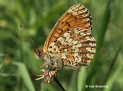 Aetherie-Fritillary-butterfly-Melitaea-aetherie-2746