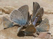 Amanda's Blue butterfly males in group - Teruel, Spain 18-6-10 © P Browning
