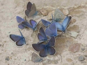 Amanda's Blue butterfly males - Teruel, Spain 18-6-10 © P Browning