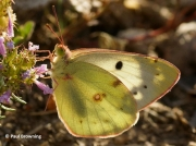 Berger's-Clouded-Yellow-butterfly-colias-alfacariensis-2635