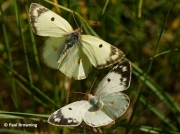 Berger's-Clouded-Yellow-butterflies-Colias-alfacariensis-2636