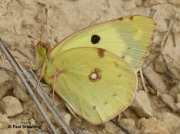 Berger's-Clouded-Yellow-butterfly-Colias-alfacariensis-male-2637