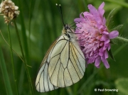Black-veined-White-butterfly-Aporia-crataegi-female-2639