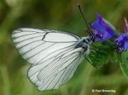 Black-veined-White-butterfly-Aporia-crataegi-2640
