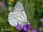 Black-veined-White-butterfly-Aporia-crataegi-2641