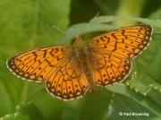 Bog-Fritillary-butterfly-Proclassiana-eunomia-Spain-2736