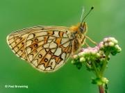 Bog-Fritillary-butterfly-Proclassiana-eunomia-Spain-2737