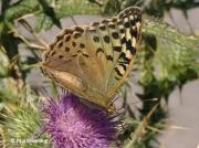 Cardinal-Fritillary-butterfly-Argynnis pandora-Spain-2714