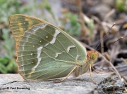 Cardinal-Fritillary-butterfly-Argynnis pandora-Spain-2715