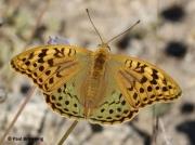 Cardinal-Fritillary-butterfly-Argynnis pandora-Spain-2716