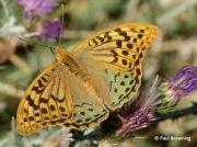 Cardinal-Fritillary-butterfly-Argynnis pandora-Spain-2717