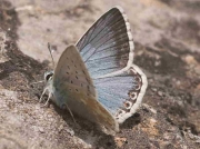 Male Chalkhill Blue butterfly recorded  in Spain.