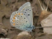 Chapman's Blue butterfly male underside - Teruel Spain 19-6-10 © P Browning
