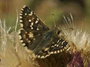 Cinquefoil Skipper male - Spain © P Browning