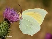 Cleopatra-butterfly-Gonepteryx-cleopatra-2642
