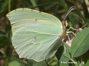 Cleopatra-butterfly-Gonepteryx-cleopatra-female-spain-2643