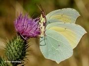 Cleopatra-butterflies-Gonepteryx-cleopatra-2644