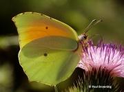 Cleopatra-butterfly-Gonepteryx-cleopatra-male-2645