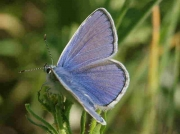 Common Blue butterfly male-  Granada, Spain  29-4-07 © P Browning