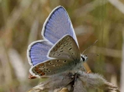Common Blue butterfly male -  Navarra, Spain 6-7-09 © P Browning