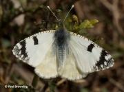 Western-Dappled-White-butterfly-Euchloe-crameri-Spain-2648