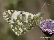 Western-Dappled-White-butterfly-Euchloe-crameri-2647