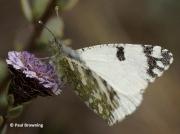 Western-Dappled-White-butterfly-Euchloe-crameri-Spain-2649