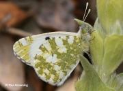 Western-Dappled-White-butterfly-Euchloe-crameri-Spain-2650