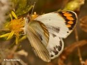 Desert-Orange-Tip-butterfly-Colotis-evagore-female-2651