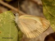 Desert-Orange-Tip-butterfly-Colotis-evagore-female-spain-2652