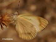 Desert-Orange-Tip-butterfly-Colotis-evagore--female-spain-2653