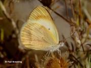Desert-Orange-Tip-butterfly-Colotis-evagore--female-spain-2654