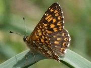 duke-of-burgundy-male-huesca-15-6-10-photo-p-browning