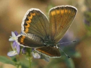 Escher's Blue butterfly female - Castellon, Spain -24-7-13 © P Browning